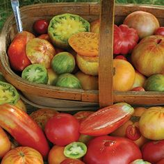 These 12 heirloom tomato cultivars are some of the most popular in the world; they're sure to become a welcomed addition to your garden as well.