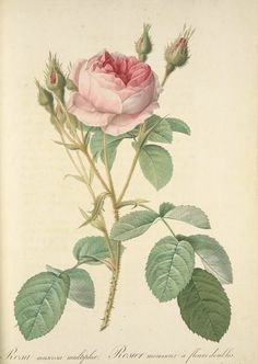 Botanical Illustration of Pierre Joseph Redoute