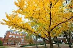 Gingko tree near Allen Hall shows off its colors.