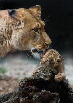 aww - Momma lion & cub