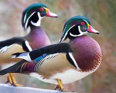 Wood Ducks at George C. Reifel Migratory Bird Sanctuary, British Columbia. Photo: TOTORORO.RORO via Flickr.