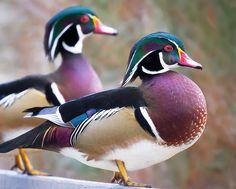 Wood Ducks at George C. Reifel Migratory Bird Sanctuary, British Columbia. Photo: TOTORORO.RORO via Flickr.