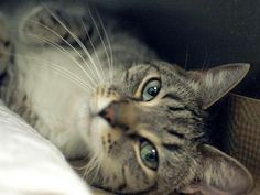 TO BE DESTROYED 5/14/14 ** Handsome, sweet Paul needs a friend tonight! Will you be that friend? Please consider pledging, fostering or adopting to save this friendly guy tonight!! Brooklyn Center  My name is PAUL. My Animal ID # is A0749384. I am a neutered male gray tabby and white domestic sh. The shelter thinks I am about 6 YEARS old.  I came in the shelter as a OWNER SUR on 04/25/2014 from NY 10467, owner surrender reason stated was MOVE2PRIVA.