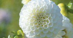 Billedresultat for åkande dahlia Dahlia, Snowflakes, Garden, Garten, Snow Flakes, Lawn And Garden, Gardens, Gardening, Outdoor