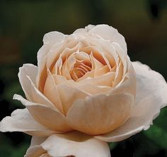 Cafe Ole, A miniature rose of unique coloring and outstanding fragrance. Its brownish-beige shading reminds one of coffee rich with cream.