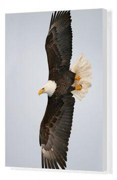 Homer Alaska, Alaska Usa, Eagle Images, Eagle Painting, Eagle In Flight, Arthur Morris, African Elephant, East Africa, Beautiful Creatures