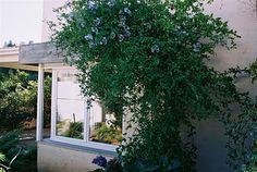 Bela emília: arbusto que pode ser tutorado como trepadeira, plantada isolada ou como cerca-viva. Deve ser cultivada a pleno sol ou meia-sombra.
