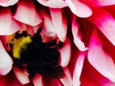 A bee sleeping on a dahlia!