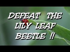 Keep the Red Lily Leaf Beetle off your Lily's ! It takes some time and vigilance , but it's worth it ! Lily Beetle, Red Beetle, Lily Bulbs, Red Lily, Oriental Lily, Asiatic Lilies, Different Shades Of Pink, Herbs Indoors, Grow Organic