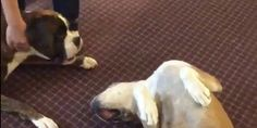 Archie The Dog Goes Into Mourning Every Time His Buddy Plays Dead | Huffington Post