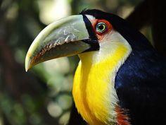 Tucano - Birds Park - Foz do Iguaçu - PR - Brasil