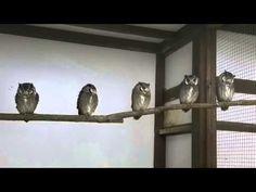 Southern White-faced Scops Owl  Pinned by www.myowlbarn.com