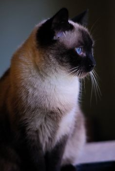by Jobar Bartell Snowshoe Siamese, Siamese Cats, Cats And Kittens, Burmese, Fauna, Beautiful Babies, Cat Lovers, Bunny, Kitty
