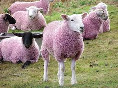 dyed sheep