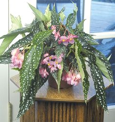 Begonia 'My Special Angel' http://www.logees.com/