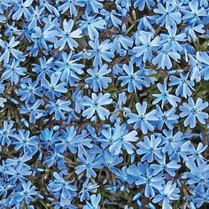 Liven up your landscape with charming Blue Emerald Carpet Phlox. With its lavender-blue blooms and evergreen foliage, phlox adds colourful ground cover. Summer Bulbs, Spring Bulbs, Spring Blooms, Phlox Plant, Blue Plants, Potted Plants, Garden Plants, Deeper Shade Of Blue, Shades Of Peach