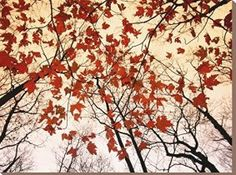 Fall wall art is a great way to elevate the look of your  home. Whether it be colorful fall leaves, cute orange pumpkins or beautiful  cornucopias. You can effortlessly make  your home fall worthy by using several pieces of #autumn wall décor throughout  your home. Do this with fall wall art,  fall wall wreathes, fall wall clocks and even fall canvas art to create a warm  and inviting #fall paradise.      Canvas Print Wall Art 'Red Maple and Autumn Sky' by Raymond Gehman, 24x32 in