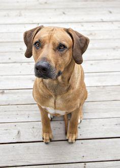 Most Inspiring Rhodesian Ridgeback Brown Adorable Dog - 752d126726d899a44d5ec6e149d62244--in-my-life-rhodesian-ridgeback  Snapshot_27985  .jpg