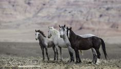 By Carol Walker, Director of Field Documentation, Wild Horse Freedom Federation SOURCE: wildhoofbeats.com It was not enough for Wyoming Governor Matt Mead that 1263 wild horses were removed from W...
