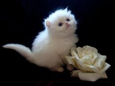 white rose and white tea cup Persian kitten