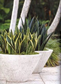 Snake Plant: Trouble-Free Gardening with Sansevierias - Garden Design Outdoor Planters, Concrete Planters, Outdoor Gardens, Concrete Backyard, Cement Patio, Concrete Wall, Container Plants, Container Gardening, Gardening Vegetables