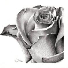 Rose Drawing - by Linda