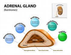 Illustration of Adrenal gland hormone secretion. Adrenal glands sit atop the kidneys and are composed of an outer cortex and an inner medulla, which produce different types of hormones. Human endocrine system vector art, clipart and stock vectors. Adrenal Gland Hormones, Adrenal Failure, Adrenal Cortex, Adrenal Health, Adrenal Glands, Mental Health, Health Talk, Cortisol, Addison's Disease Symptoms