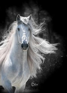 Horses: Andalusian Looking fabulous! All The Pretty Horses, Beautiful Horses, Animals Beautiful, Horse Photos, Horse Pictures, The Animals, Photo Animaliere, Andalusian Horse, Friesian Horse
