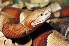 Pictures Snakes In Tennessee - Bing Images  Copperhead!!!
