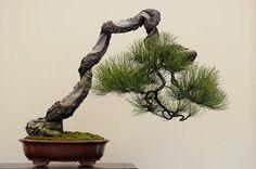 ryan neil bonsai - Google Search
