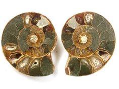 pair polished chelinoceras ammonite 73carats ra534