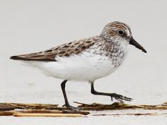Photos and Videos for Semipalmated Sandpiper, All About Birds, Cornell Lab of Ornithology