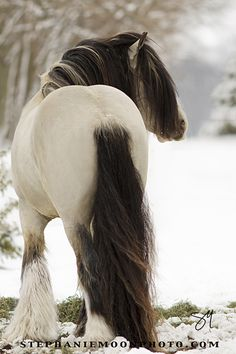 Stephanie Moon photography   | Buckskin Gypsy Vanner Stallion MVP Segway, 2013