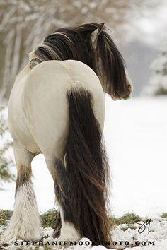 Buckskin Gypsy Vanner Stallion MVP Segway    -   2013   -  Stephanie Moon photography   -  https://www.flickr.com/photos/stephaniemoon/8544392041/