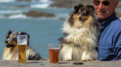 https://flic.kr/p/MsQpYx | The Sheltie Stare | OK….I need a little help here……To fill you in on the story so far…..I will admit to overstaying my welcome here……With my promise of only having the one pint, and now number three is on the table……. Halo has had enough…..…(Its past his feed time)…..And is determine to make things a lot harder for me to reach that 3rd pint by using the table to put his paws on to force me back as much as he can away from the pint……And if that was not bad…