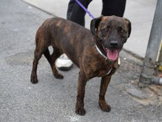 TO BE DESTROYED 6/26/2015 Brooklyn Center My name is BLAZE. My Animal ID # is A0952879. I am a neutered male br brindle and white germ shepherd and patterdale terr mix. The shelter thinks I am about 3 YEARS old. I came in the shelter as a OWNER SUR on 06/20/2015 from NY 11236, owner surrender reason stated was PERS PROB.