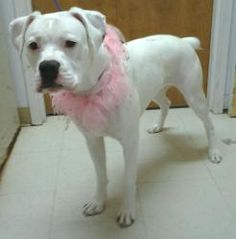 PLEASE DON'T OVER LOOK ME!! is an adoptable Boxer Dog in Toledo, OH. Please don't over look this dog just because she is deaf.  She is a fantastic girl that has been trained with hand signals.  You wo...