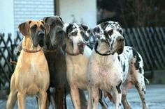 Great Danes are awesome Great Dane Mastiff Mix, Great Dane Dogs, Weimaraner, Blue Merle Great Dane, Animals Beautiful, Cute Animals, Dane Puppies, Gentle Giant, Love At First Sight