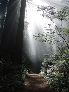 Redwoods-  I have always loved filtered sunlight...
