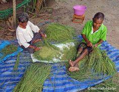 Grüner Reis ernten