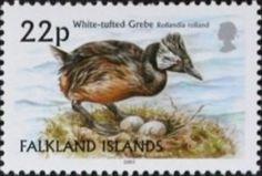 White-tufted Grebe (Rollandia rolland)
