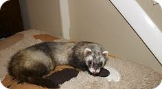 Chantilly, VA - Ferret. Meet Maggie, a pet for adoption. Facts about Maggie Species: Ferret Color: Sable Age: Baby Sex: Female Hair: Unknown http://www.adoptapet.com/pet/13607097-chantilly-virginia-ferret