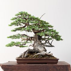 All the trees in this post are from Ryan Neil's Bonsai Mirai, the home of one of best collections of North American yamadori bonsai in the world (yamadori are trees collected from the wild).