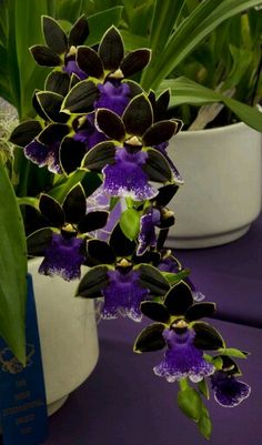 Orchid - brilliant purple colour.