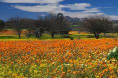 Namaqualand flowers.. ;)