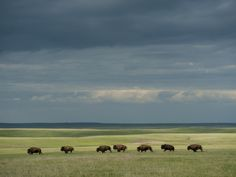Wild American Bison Roam on a Ranch in South Dakota Photographic Print