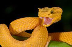 eyelash viper - Google Search