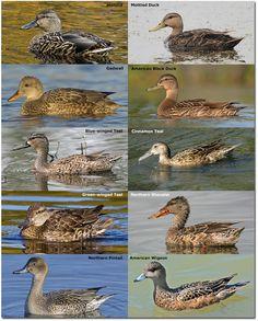 comparison of female ducks
