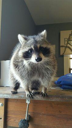 Wasberen so cute Nature Animals, Woodland Animals, Animals And Pets, Baby Animals, Funny Animals, Cute Animals, Strange Animals, Wild Animals Attack, Animal Attack