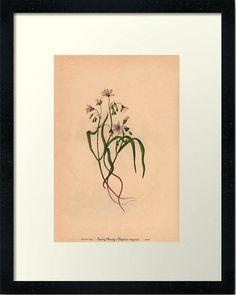 Spring Beauty-Wild Flower-Downloadable Vintage  by UrbanDigitalArt